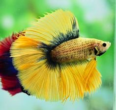 Summary: Koi ponds are the ponds which store the Koi fish. These fish are small fishes that look similar to gold fishes. Fish Under The Sea, Oscar Fish, Aquarium Accessories, Beautiful Sea Creatures, Beta Fish, Freshwater Aquarium Fish, Siamese Fighting Fish, Underwater Life, Beautiful Fish