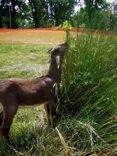 article on goats-for-hire businesses