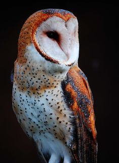 Barn Owl. by Cheryl Rendino. How beautiful is this owl?