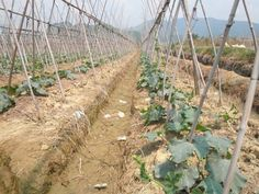 set up bamboo pole stakes of plant trellis for luffa