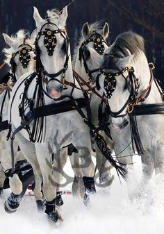 Team of draft horses All The Pretty Horses, Beautiful Horses, Animals Beautiful, Cute Animals, Dashing Through The Snow, Majestic Horse, Draft Horses, White Horses, Horses In Snow