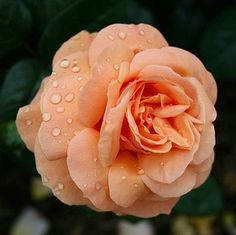 Peach coloured rose with dew Shades Of Peach, Favorite Color, Coral, Colour, Rose, Nails, Fun, Photography, Accessories