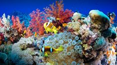 Clown fish (Amphiprion bicinctus) and sea anemone (Actiniaria), Red Sea, Sudan, 61f769f2b158d5d584ef9600a6512a53