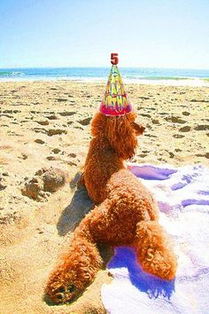 Red Standard Poodle Lily at the Beach. Red Poodles, French Poodles, Standard Poodles, Poodle Cuts, Poodle Mix, Dog Photos, Dog Pictures, I Love Dogs, Cute Dogs