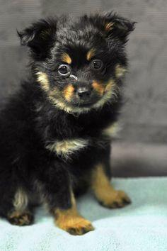 Pomeranian Rottweiler Mix