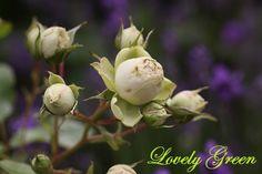 """Rose """"Lovely Green"""" in our garden in Moenchhagen"""