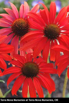 "Echinacea Tomato Soup, 32"", This new echinacea from Terra Nova stretches what we used to think about echinaceas to an entirely new level. The 32"" tall clumps are topped in summer with large 5"" flowers attractive to hummingbirds, whose petals indeed look like the color of mama's tomato soup"