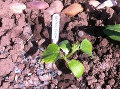 Lemon cucumber has been in the soil for a week now, protected by the slug pellets.