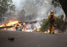 A rabbit runs across the road as a firefighter from Ebbetts Pass Fire District monitors a back fire as he battles the Rim Fire, near Groveland, California on August 21, 2013. (photo by Justin Sullivan)