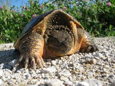 Common Snapping Turtle in Iowa. We have seen several of these in the 20+ years I have lived in the country.