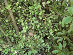 Read the full record details for Image: Melicope simplex - Poataniwha - Riccarton Bush 2 Tall Shrubs, Lincoln University, Small Trees, What You Can Do, Banks, Couches