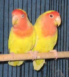 yellow peach-faced lovebird   lutino lovebird lutino peach faced lovebird family psittacidae