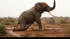 Olifant gaat dood