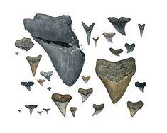 Fossil Shark Teeth Scientific Illustration Print
