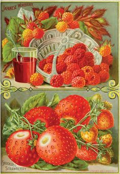"""heaveninawildflower: """" 'Japanese Wineberry and Shuckles Strawberry' illustration from 'Childs Rare Flowers, Vegetables and Fruit U. Department of Agriculture, National Agricultural. Decoupage Vintage, Vintage Diy, Vintage Labels, Garden Catalogs, Seed Catalogs, Fruit Illustration, Botanical Illustration, Rare Flowers, Vintage Flowers"""