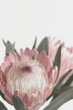 Protea Printable Wall Art, Australian Native Flower Home Decor Print, Botanical Floral Photography Poster Protea Art, Protea Flower, Australian Native Flowers, Floral Photography, Floral Wall Art, Flower Wallpaper, Home Decor Wall Art, Vintage Flowers, Printable Wall Art