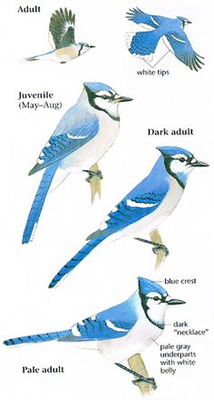 Blue Jay Facts Sheet Canadian Geographic Kids