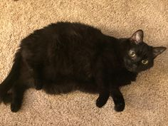 Almost tripped over my mini whale this morning. (i.redd.it) submitted by timefortea615 to /r/Delightfullychubby 0 comments original   - #Funny #Cats - Cute Kittens - LOL #Purrito Memes - #Pets in Clothes - Kitty Breeds - Sweet Animal Pictures