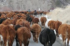 Cattle Drive -Jessie Walling Photography Cattle Drive, Cowboy Pictures, Jessie, Bar, Photography, Animals, Photograph, Animales, Animaux