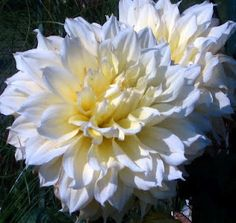 Kelvin Floodlight Dahlia, absolutely amazing. I have to have these!