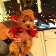 Christmas Norwich Terrier