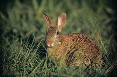 off beat ways to better rabbit hunting Rabbit Hunting, Squirrel Hunting, Deer Hunting, Hunting Tips, Rabbits, Beats, Survival, Bow, Animals