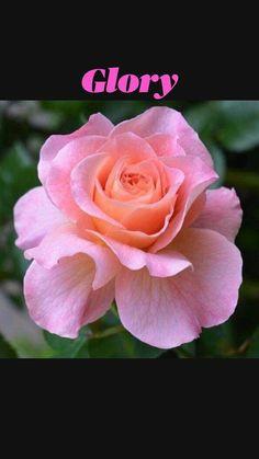 Beautiful Rose Flowers, Exotic Flowers, Amazing Flowers, Pretty Flowers, No Rain, Birth Flowers, Morning Flowers, Natural, Botanical Flowers