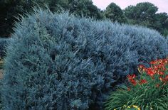 Privacy hedge - Wichita Blue Juniper is an excellent specimen plant. It retains its color throughout the year no matter where you live in the country. The dusty-blue color is a standout and makes a great addition to your landscape. Privacy Trees, Privacy Hedge, Privacy Plants, Fence Plants, Window Privacy, House Plants, Types Of Evergreen Trees, Trees And Shrubs, Evergreen Landscape