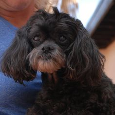Sammy needed us when his previous owner passed away.  He is a very gentle and amiable boy, Toy Poodle & Shih-Tzu mix, neutered, 10 years of age, and debuting for adoption today at Nevada SPCA (www.nevadaspca.org).  Sammy likes other sweet dogs and the dry skin around his eyes and nose is slowly and steadily improving.  Please help Sammie find a home where he will be adored.