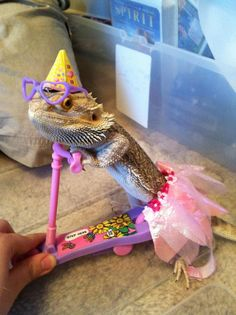 The Bearded Dragon Diet - 7 Top Foods - Exotic Bearded Dragons Cute Little Animals, Cute Funny Animals, Funny Animal Pictures, Funny Pets, Bearded Dragon Funny, Bearded Dragon Diet, Bearded Dragon Costumes, Cute Reptiles, Reptiles And Amphibians