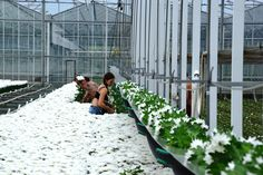 Greenhouse Family Business, Chrysanthemum, Railroad Tracks, Fair Grounds, Fresh, Fun, Travel, Viajes, Destinations