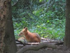 This red fox was curled up and getting ready to nap (Northwest Trek).  Unfortunately the wolves next door started howling shortly afterwards.