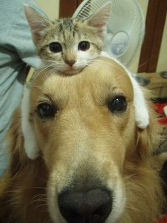 OH my word so cute!! Cat and Dog best friends.   This is a sign that my cat needs a new dog friend.