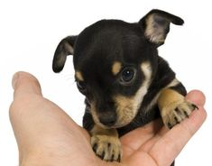 chihuahua-rat terrier mix puppy