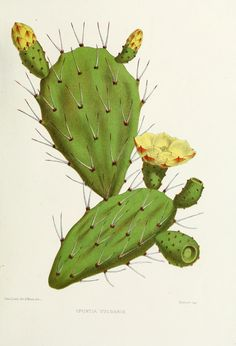 cactus - opuntia vulgaris botanical illustration