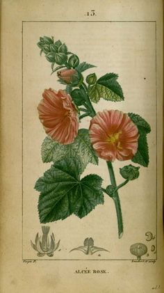 Botanical Drawings, Botanical Illustration, Botanical Prints, Flower Catalogs, Mauve, Impressions Botaniques, Illustration Botanique, Illustrations, Horticulture