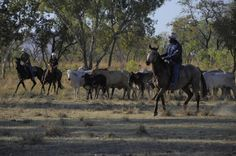 Fest im Sattel in Westaustralien - http://www.reisegezwitscher.de/reisetipps-footer/1393-als-helfer-bei-einem-viehtrieb-erleben-reisende-das-australische-outback-hautnah