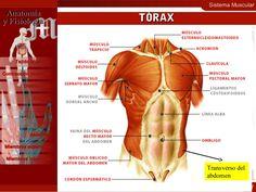 Sistema Muscular 17 Contracción muscular Distribución Cabeza Cuello Tejido Muscular Tórax Abdomen Miembros superiores Miem...