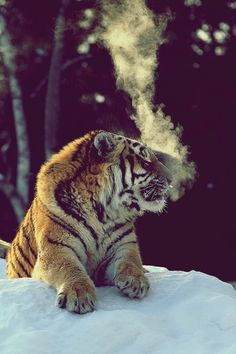 smoking tiger...
