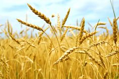 Pictures of Wheat and wheat fields   , eventually you'll want to try growing your own whole grains . Wheat ...