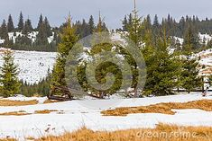Photo about Winter landscape with snow on the ground and green pine trees and dry grass in the foreground, Paltinis, Romania. Image of christmas, snowy, green - 105037655 Winter Landscape, Christmas Images, Pine Tree, Romania, Grass, Snow, Mountains, Outdoor, Outdoors