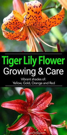 The tiger lily flower in vibrant shades yellow, gold, orange and red, hardy, produces vast numbers of flowers (up to 12 per stem) - Growing
