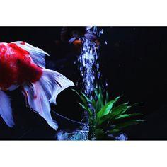 【y_photo_s】さんのInstagramをピンしています。 《この写真が一番好き。 お尻だけですけど💕 . #金魚#アクアリウム#アクアリウム展#日本橋#コレド室町#canon#一眼レフ#動くものは難しい#水#水槽#赤#青#緑#癒し#幻想的#日常写真 #goldfish#aquarium#nihonbashi#tokyo#japan#water#fantastic#healing#red#blue#dailyphoto》