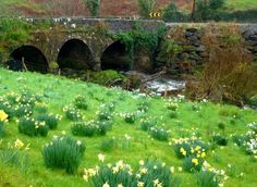 Stone Bridge & Daffidols, Dingle Peninsula, Co. Kerry