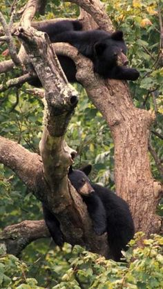 Black Bears- Great Smoky Mountains National Park