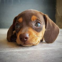 Check out our store for the best Dachshund designs CLICK the link in our bio Made in the USA International delivery . Weenie Dogs, Dachshund Puppies, Cute Dogs And Puppies, Baby Dogs, I Love Dogs, Doggies, Cute Funny Animals, Cute Baby Animals, Tier Fotos