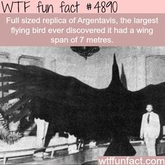 The largest flying bird -   WTF fun facts