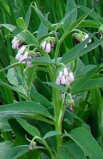 Comfrey - rich in natural substances which speed up skin regeneration. Also, comfrey is rich in vitamins and minerals like iron, magnesium, potassium and others. Health benefits of comfrey include anti-inflammatory, anti-bacterial, soothing, expectorant, astrigent, slight sedative and other properties of this herb. In particular, this medicinal herb can be used as a great natural cure for broken bones, fractures, dislocations, strains, ligaments and so on.