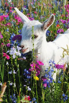 Goat In Wildflower Field
