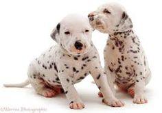dalmatian puppies - Google Search